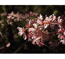 Cherry Blossoms (Sakura) Photographic Print