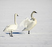 Trumpeter Swan On Ice by Deb Fedeler
