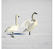 Trumpeter Swan On Ice Photographic Print