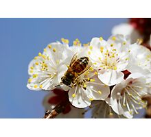 Bee Visiting an Apricot Blossom 5 Photographic Print