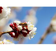 Bee Visiting an Apricot Blossom 4 Photographic Print