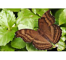 Chocolate Pansy Butterfly Photographic Print