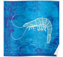 Shrimp, Illustration Over Nautical Map Poster