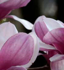 Pink and White Chinese Magnolia Flowers Sticker