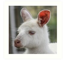 Albino kangaroos Art Print