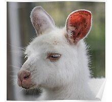 Albino kangaroos Poster