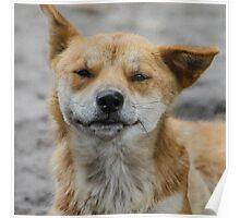 Smiling Dingo  Poster