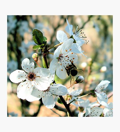 apple blossom downunder  Photographic Print