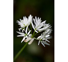 wild garlic flower Photographic Print