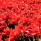 Close to Tulips by Jo Nijenhuis