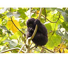 Gorilla Baby, Uganda Africa Photographic Print