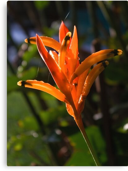 Luminous Jewels (Heliconia) by Kerryn Madsen-Pietsch