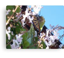 Butterfly, Fly Canvas Print