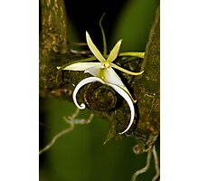 The Elusive Ghost Orchid Photographic Print