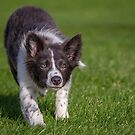 Border Collie Puppy by JFPhotography