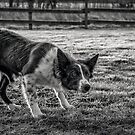 Classic Border Collie by JFPhotography