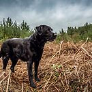 Stunning Labrador by JFPhotography