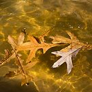Liquid Gold Fall - Oak Leafs Floating in a Fountain by Georgia Mizuleva