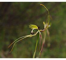 Arachnorchis tentaculata (Mantis Orchid)   2 Photographic Print