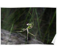 Arachnorchis tentaculata  (Mantis Orchid)  1 Poster