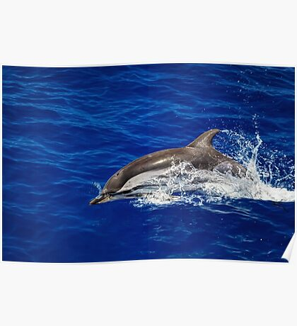 A wild free dolphin jumping  Poster