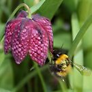 Friendly Bee on Snakes head Fritillary  by AnnDixon