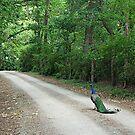 Peacock Road by Jenny Brice