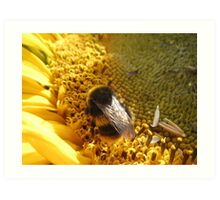 Bumble bee on sunflower Art Print