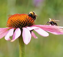 Bumblebees by flashcompact