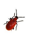 red beetle by flashcompact