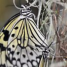 Rice Paper Butterflies at Wisley by Melanie Simmonds