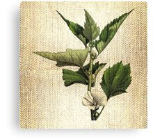 Antique Botanical 1  Canvas Print