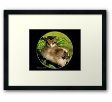 Welsummer chick posters edge effect on black Framed Print