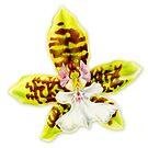 Orchid flower Oncidium Leucochilum by Sarah Trett