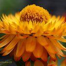 Strawflower by Katagram