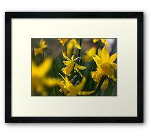 Lovely Daffodils Framed Print