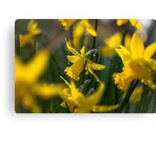Lovely Daffodils Canvas Print