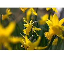 Lovely Daffodils Photographic Print