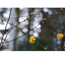""" Mimosa Pom Poms "" Photographic Print"