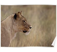 Lioness isolated fro back ground Poster