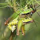 Mating Short Horned Grasshoppers by jozi1