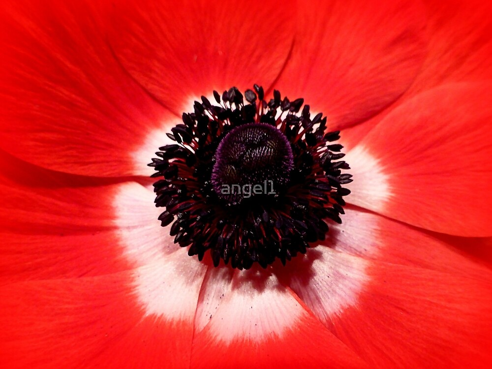Red Anemone by ©The Creative  Minds