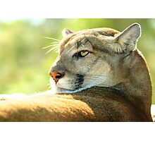 Resting Cougar Photographic Print