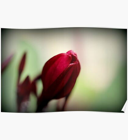 Red Frangipani Bloom Poster