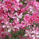 A Flood of Pink by lorilee