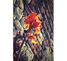Canna indica #2 Photographic Print