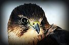 Lannar Falcon by naturelover