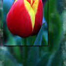 Tulip by Keith G. Hawley