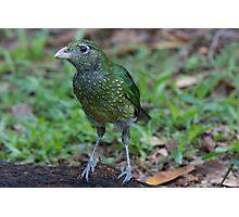Baby Bowerbird Photographic Print