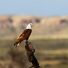 Brahminy Kite  by mncphotography